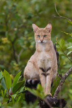 Jungle Cat on tree at Sundarban, West Bengal, India - Jungle cat - Wikipedia Jungle Cat, Jungle Animals, Baby Animals, Cute Animals, Small Wild Cats, Small Cat, Pretty Cats, Beautiful Cats, I Love Cats