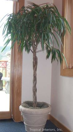 Saber Ficus - Tropical Interiors, Inc. Inside Plants, Cool Plants, Key West Cottage, Large Indoor Plants, Forever Green, Potted Trees, Office Plants, Interior Plants, Conceptual Design
