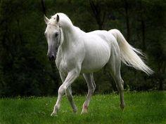 cavalo de raça