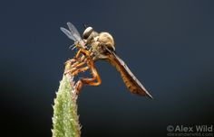 A small robber fly (Asilidae) perches in an Illinois prairie with freshly-caught aphid prey. Urbana, Illinois, USA