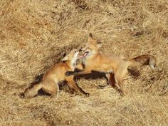 Photo: Young foxes frolicking