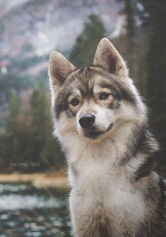 Shamy (Siberian Husky) by Mel Fin  @KaufmannsPuppy