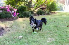 Bendito, a long-haired chihuahua, was named the 2012 Spokesdog for Dog Days of Denton. This fun event celebrating our furry friends is free and will be May 31 - June 1 2013.