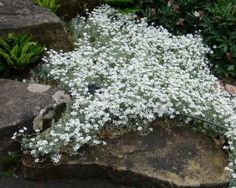 Spring and early summer - a very pretty groundcover or border plant. Snow In Summer, Border Plants, Unusual Plants, Country Farm, Star Shape, Shade Garden, Fine Hair, Dark Colors, Colorful Flowers