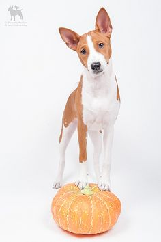 basenji by Clockworkdog, via Flickr