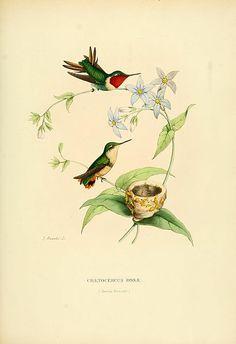 Chaetocercus rosae = Chaetocercus jourdanii rosae[1] Date 1877 Source E. Mulsant et Edouard Verreaux: Histoire naturelle des oiseaux-mou...