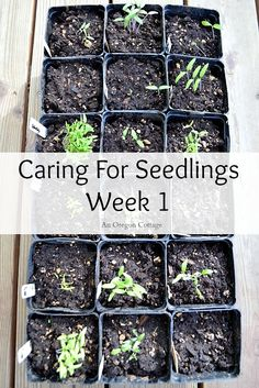 Caring for Seedlings at One Week: the simple steps you need to take to make sure your little plants grow strong and healthy! An Oregon Cottage