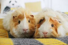 What Is The Best Guinea Pig Bedding? Photo by picto:graphic Guinea pig owners routinely utilize wood or paper types of shavings as the bedding for their pets. Baby Animals, Cute Animals, Zoella Beauty, Guniea Pig, Baby Guinea Pigs, Cute Piggies, This Little Piggy, Fur Babies, Pets