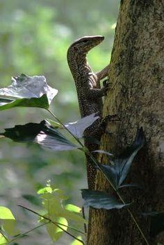 Juvenile monitor lizard.