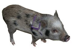 Juliana Piggie: Learn about Diet, problem solving, health, and training of mini pigs
