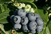 The Ochlockonee Blueberry is a very late variety that produces large and delicious sweet berries. The berries are a deep blue color tht is f...