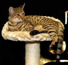 27 Best Ashera Cats Images Ashera Cat Cats Asian Leopard Cat