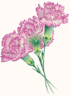 Shade Garden Flowers And Decor Ideas Pink_Carnations_ Carnation Drawing, Carnation Flower Tattoo, Flower Art Drawing, Flower Tattoos, Botanical Art, Botanical Illustration, Watercolor Flowers, Watercolor Paintings, Watercolors