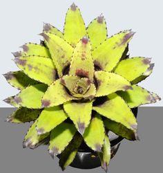Canistrum triangulare