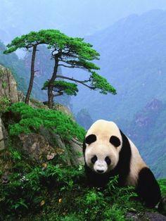Giant Panda, China ВКЛАД -ВЫВОД! https://www.hourpower.biz/?ref=dgoys #HPOWER вклад от 25$ +доход от  1.48%-1.55%+реф от 3%-10%  72 часа,48 часов от 2.5%-3%,8%-10% стабильные выплаты! проект работает с 1 ноября 2016 года!
