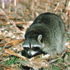 How to prevent and get rid of raccoons raccoons decking and gardens How to keep raccoons out of garden