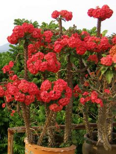 Euphorbia milii is a succulent climbing shrub growing to 6 feet m) tall. Grayish-brown, sided stems, branched and up to 3 feet. Cactus Flower, Cactus Plants, Flower Pots, Flowering Plants, Cacti, Euphorbia Milii, Tropical Garden Design, Tropical Landscaping, Euphorbia Flower