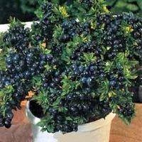 Identify Blueberry Bushes