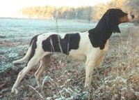 berner laufhund photo   SABUESO DE BERNA - BERNER HOUND - COURANT BERNOIS - BERNER LAUFHUND ...