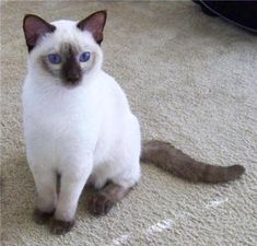1000+ images about Traditional Siamese cats (applehead) on Pinterest | Siamese cats, Siamese and ...