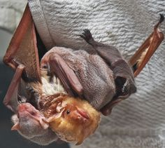 Eastern Red bat with 3 pups