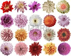Dahlias: MED. Lg ones are from tubers not seed, but kind of a must-have in a bouquet. All shapes and sizes.