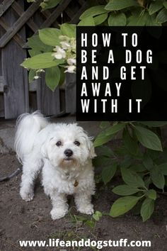 How to be a dog and get away with it. #dogs #doghumor