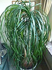 Palm Care – How to Grow Beaucarnea Recurvata Ponytail palm care is surprisingly easy for a palm. Learn exactly how to grow beautiful beaucarnea recurvata in your home with this in-depth guide. Ponytail Plant, Ponytail Palm Care, Palm Plant, Trees To Plant, Outdoor Plants, Garden Plants, Potted Garden, Pony Tail Palm, Low Light Plants