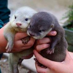 Baby Otters :))