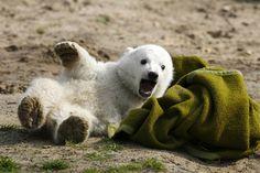 Polar bear sensation Knut immortalized in Berlin museum (Photo: Arnd Wiegmann / Reuters)