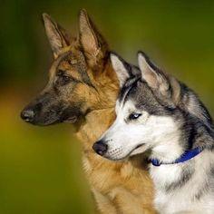 Husky & German Shepherd - what a pair!