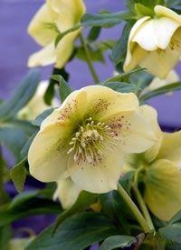 heronswood single yellow hellebore