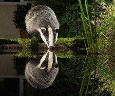 Badger <3
