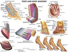 This Foot and Hoof Equine Anatamy Wall Chart contains highly detailed illustrations of everything you need to know about your horse's hoof and foot anatomy.