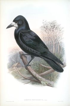 Corvux frugilegus. Rook. 1862 - 1873. From New York Public Library Digital Collections.