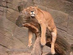 キリンってこんなふうに眠るんだあ! 眠りこける動物たちの萌え画像集 – Pouch[ポーチ]