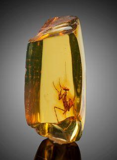 Praying Mantis in Amber (Hymenaea protera, Oligocene) - Dominican Republic