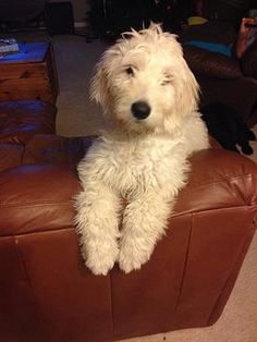 Chicago English Golden Doodle Puppies Available