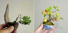 ■日本豆盆栽連合会 : mame bonsai