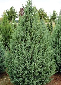 Star Power™ Juniper. Juniperus x 'J.N. Select Blue'. The star-like foliage also gives the plant a fresh, rich texture.
