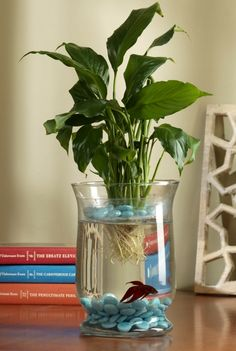 Create a living Eco-system! The peace lily plant acts as a natural air purifier in your home. it cleans . Aquarium Design, Water Plants Indoor, Peace Lily Plant, Betta Fish Tank, Fish Tanks, Vase Fish Tank, Ideias Diy, Deco Floral, Cool Plants