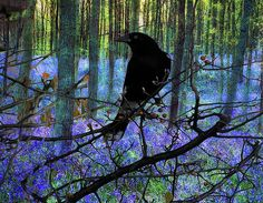 crow in spring