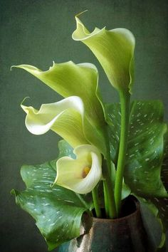 Pictures Of Calla Lilies, Calla Lily Flowers, Exotic Flowers, Green Flowers, Pretty Flowers, Wallpaper Nature Flowers, Zantedeschia, Lily Painting, Arte Floral