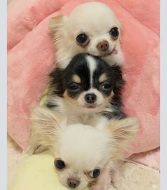 Tag a dog lover to make them smile Wait for it. Cute Chihuahua, Chihuahua Puppies, Cute Puppies, Cute Dogs, Dogs And Puppies, Chihuahuas, Cute Dog Photos, Puppy Pictures, Teacup Puppies