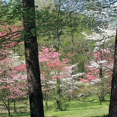 Beautiful Dogwood trees are our states official tree and flower too. 2 for 1 :)