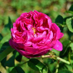 Rose de Rescht (trandafir de dulceaţă) | Zdravăn