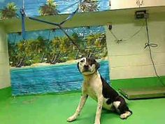 URGENT -  ID#A433493 (Moreno Valley, CA)  Female, black and white Pit Bull Terrier mix.  The shelter thinks I am about 1 year.  I have been at the shelter since Mar 20, 2014 and I may be available for adoption on Mar 28, 2014 at 7:00AM.  http://www.petharbor.com/pet.asp?uaid=MRVL.A433493   For more information about this animal, call:  Moreno Valley Animal Services at (951) 413-3790…