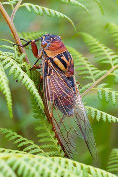 Cicada on Ferns   by SPointr