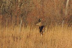 White-Tailed Deer ©Steve Frye. Wild Bird Company - Boulder, CO, Saturday Morning Bird Walk in Boulder County – December 24, 2016.