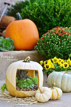 Try a softer look for fall, by using neutrals for this Easy Gold Succulent Pumpkin Planter. Grab a white faux pumpkin and a bit of gold paint, to make this elegant planter, for a subtle nod to fall. Succulent Pumpkin planter tutorial at Pumpkin Planter, Diy Pumpkin, Pumpkin Crafts, Pumpkin Carving, Pumpkin Garden, Decoupage, Faux Pumpkins, Diy Planters, Planter Ideas